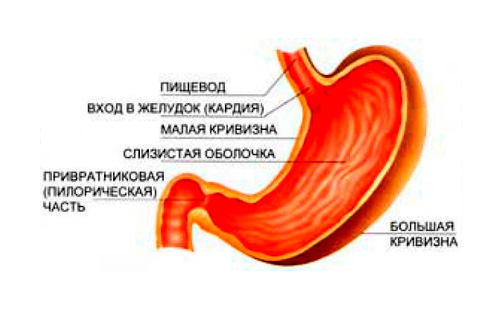 Строение желудка