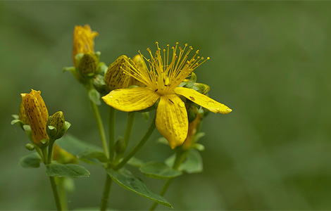 фото зверобой цветок